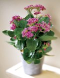 blooming plants for the home or office
